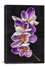 Stripey Crocuses, Canvas Print