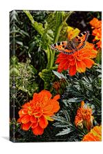 Tortoiseshell Butterfly on a Marigold, Canvas Print