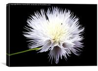 White Wildflower, Canvas Print