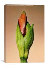 Amaryllis Bud, Canvas Print