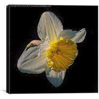 Sunlight Daffodil, Canvas Print
