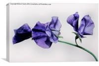 Sweet Pea Flower, Canvas Print