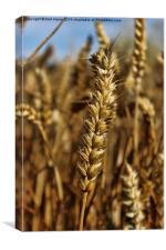 Ear of wheat, Canvas Print