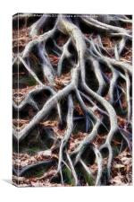 Meandering tree roots, Canvas Print