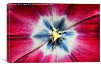 Burgundy Tulip centre, Canvas Print