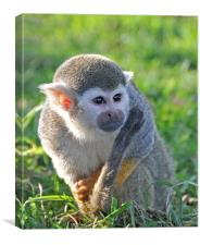 cheeky squirrel monkey, Canvas Print