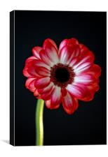 vibrant red gerbera, Canvas Print