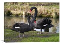 Black swans courting, Canvas Print