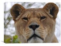 Lioness Portrait, Canvas Print