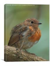 Juvenile Robin, Canvas Print