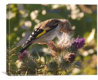 Juvenile Goldfinch 3, Canvas Print