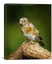 Juvenile Goldfinch 4, Canvas Print
