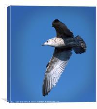 Juvenile Herring Gull, Canvas Print