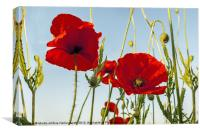Poppies Summertime, Canvas Print