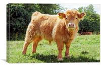 Highland Cow, The Inquisitive Calf, Canvas Print