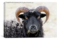 """Black Sheep """"Eye to Eye Contact""""  Hebridean Sheep, Canvas Print"""