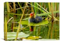 Coot Chick - New to the World, Canvas Print