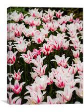 White Tulips (Tulipa), Canvas Print