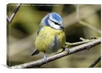 Blue tit with eyes closed, Canvas Print