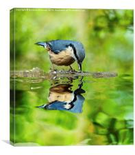 Nuthatch reflections, Canvas Print