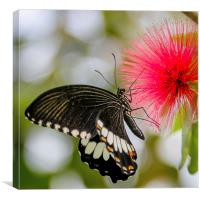 Lime Swallow Butterfly, Canvas Print