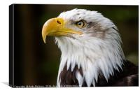 American Bald Eagle Portrait, Canvas Print