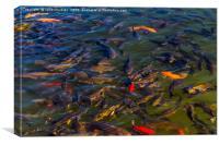 Fish in the Black Dragon Lake, Lijiang, China, Canvas Print