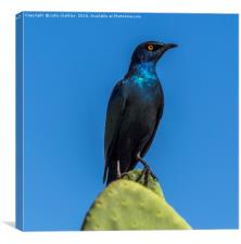 Starling on a Cactus, Canvas Print