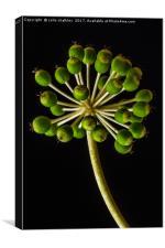 Castor Oil Plant Seed Pods - Natural Lighting, Canvas Print