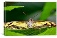 The Malechite butterfly staring me down!, Canvas Print