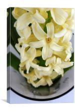 yellow hyacinth, Canvas Print