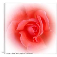 pink coral rose, Canvas Print