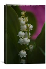 Lily Of The Valley, Canvas Print