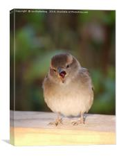 Juvenile House Sparrow, Canvas Print