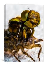 Hornet - up close and personal., Canvas Print