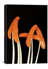 Orange Lily Stamen, Canvas Print