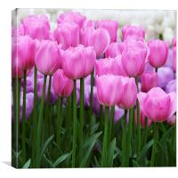 Pink Tulips, Canvas Print