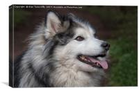 Husky cross Malamute, Canvas Print
