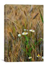 Wild Daisies in Barley Field, Canvas Print