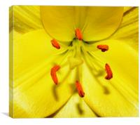 Golden Lily, Canvas Print