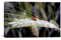 Ladybird on Barley, Canvas Print