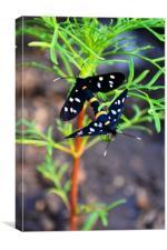 Polka Dot Wasp Moths, Canvas Print