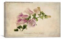 Digitalis purpurea (Common Foxglove), Canvas Print