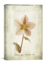Helleborus niger, Canvas Print