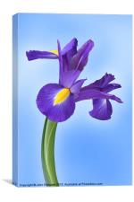 Iris reticulata Harmony, Canvas Print