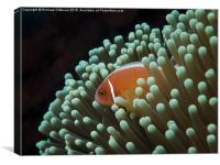 Pink Skunk Clownfish in anemone , Canvas Print