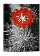 Red Cactus flower blossom, Canvas Print