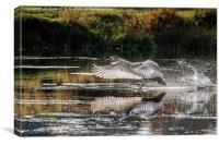 Juvenile Mute Swan Treading Water, Canvas Print