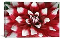 Red and White Dahlia, Canvas Print