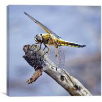 Four-spotted Chaser Dragonfly - Libellula quadrima, Canvas Print